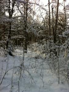 Vackert i vinterskogen